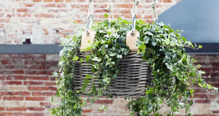 Diy tip hippe hanging basket voor je klimop tuincentrum for Hippe planten
